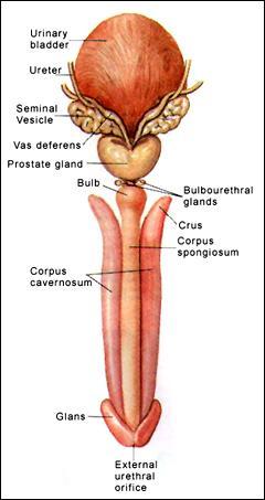 glands + corpora